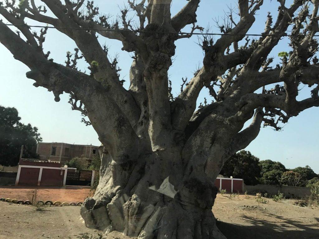 Baobab of apenboom krachtig symbool van Afrika
